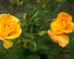 Flowers 447