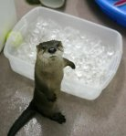 baby-otter-3